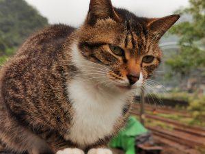 ホウトンの猫